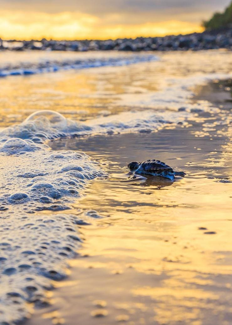 Turtle hatchling at waters edge on beach at Mon Repos in Queensland © Jewels Lynch/Tourism Events Queensland