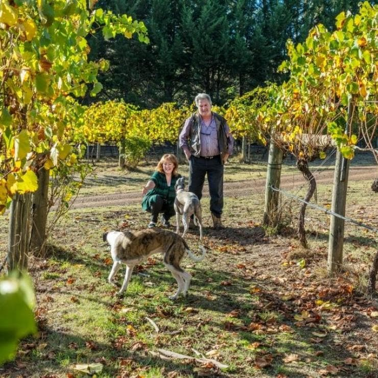 Dogs in the vineyard of Little river wines © Little river wines