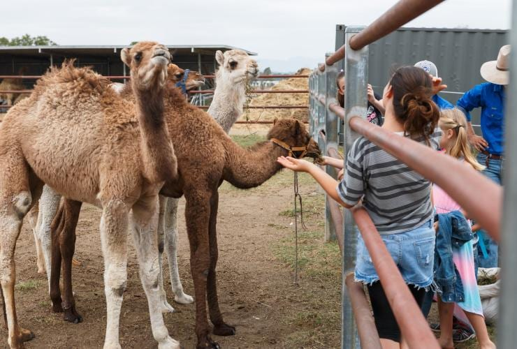 Children feeding camels at Summer Land Camels in Harrisville © Summer Land Camels