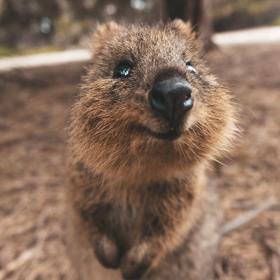 A Quokka on Rottnest Island © James Vodicka