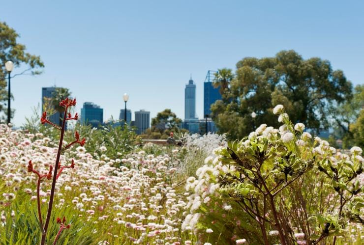 Wildflowers blooming in Kings Park Botanic Gardens with the Perth skyline in the background © Botanic Gardens & Parks Authority