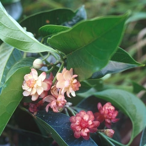 Flowering idiot fruit plant in the Daintree © Wet Tropics Management Authority