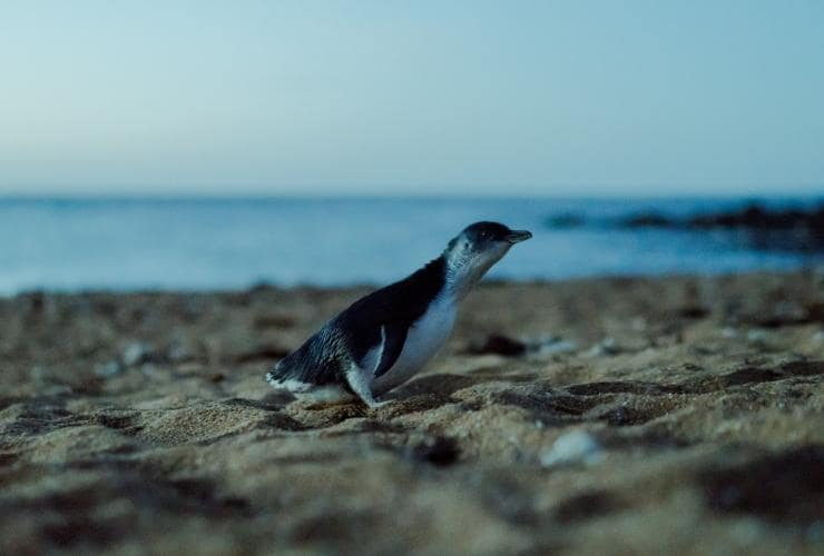 Single Little Penguin walks along the beach at dusk © Chi Kueng Renault Wong