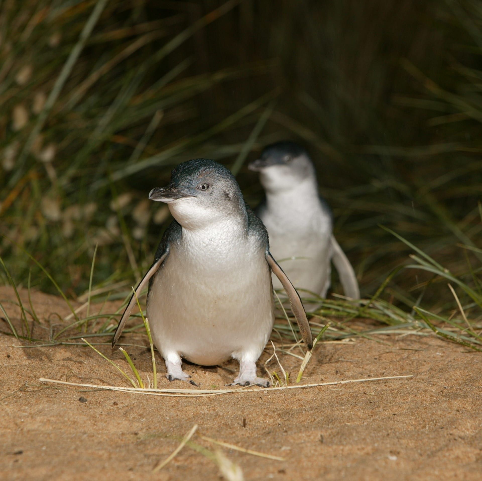 Little penguins on the beach at Phillip Island Nature Park © Phillip Island Nature Park