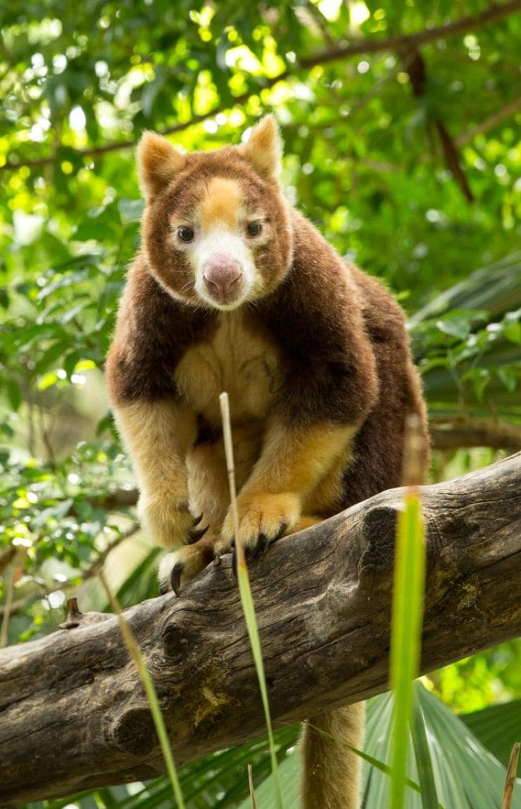 Tree Kangaroo at Adelaide Zoo in South Australia © Tourism Australia