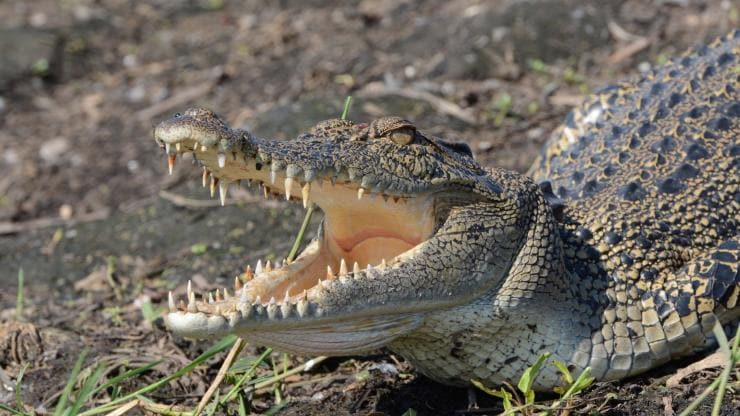 Saltwater crocodile, Lords Kakadu & Arnhemland Safaris, Kakadu National Park NT. © Lords Kakadu & Arnhemland Safaris