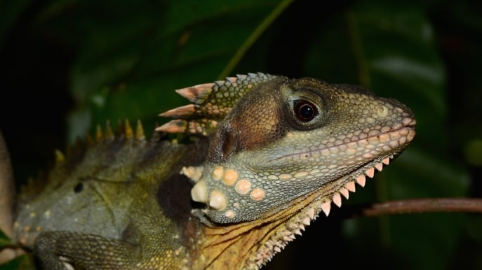 Boyds forest dragon, FNQ Nature Tours, Daintree National Park, QLD. © FNQ Nature Tours