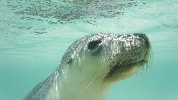 Australian sea lion, Australian Coastal Safaris, Eyre Peninsula, SA. © Australian Wildlife Journeys