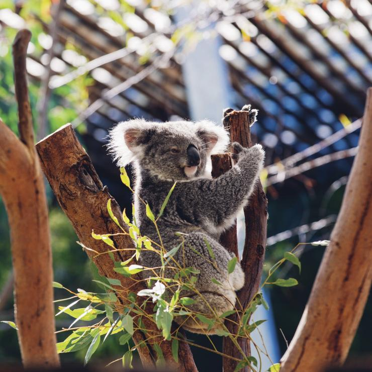 Koala resting in its tree at Taronga Zoo in Sydney © Destination NSW