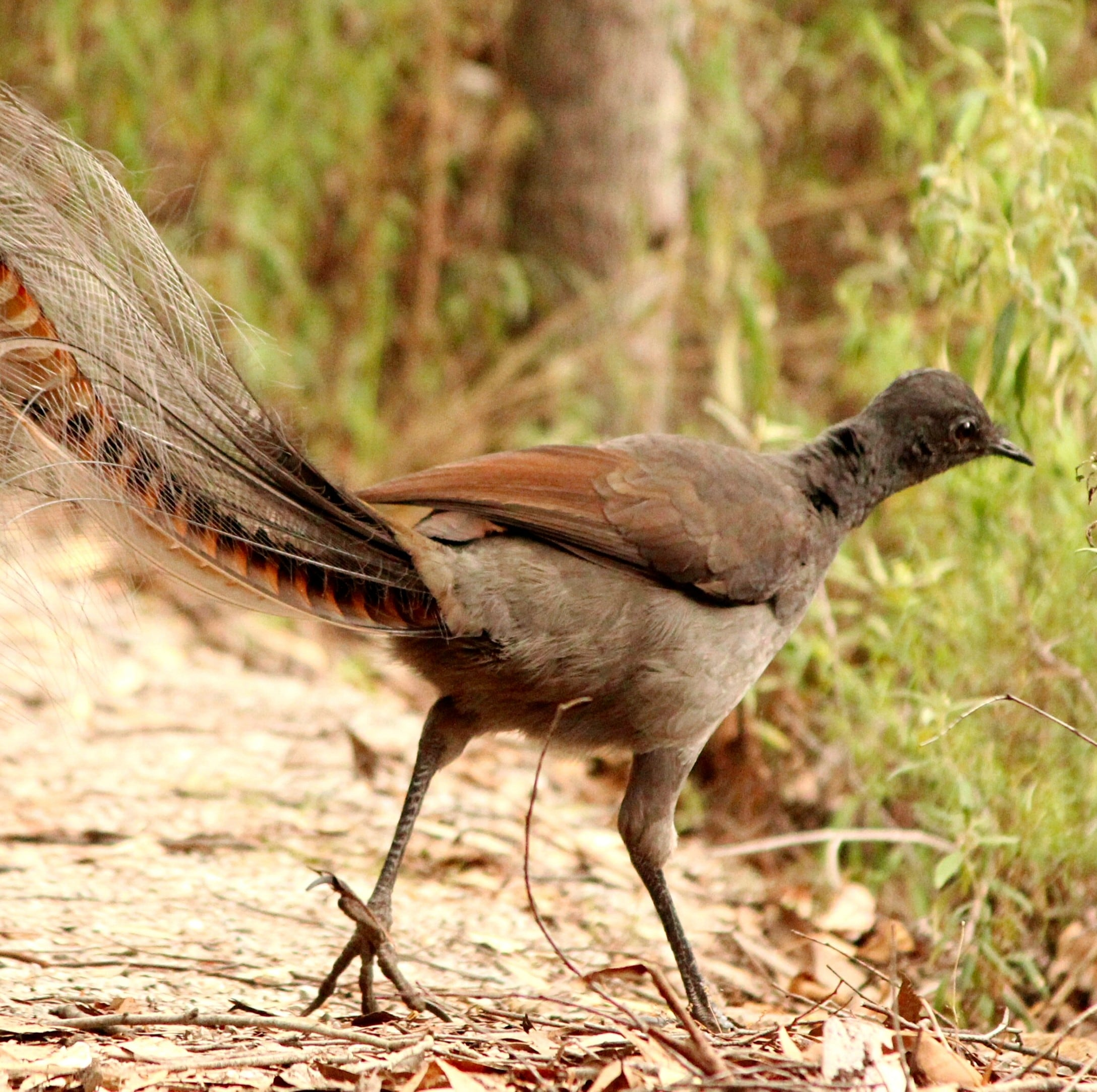 A superb lyrebird in Croajingolong National Park © Echidna Walkabout