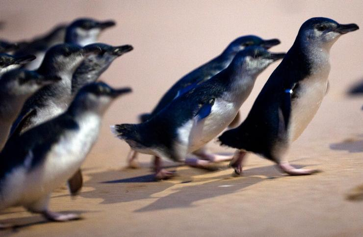 Penguins walking on the beach at Phillip Island Nature Park © Tourism Australia