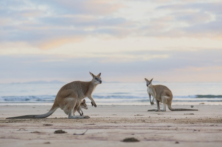 Kangaroos on the beach at sunset at Cape Hillsborough National Park © Tourism and Events Queensland