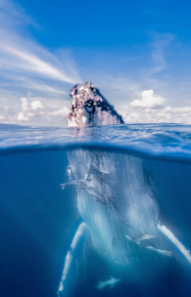 Whale Watch Swim with the Whales © Tourism & Events Queensland