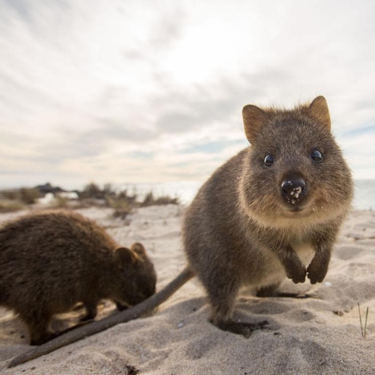 Quokkas on the beach in Rottnest Island © Allan Dixon
