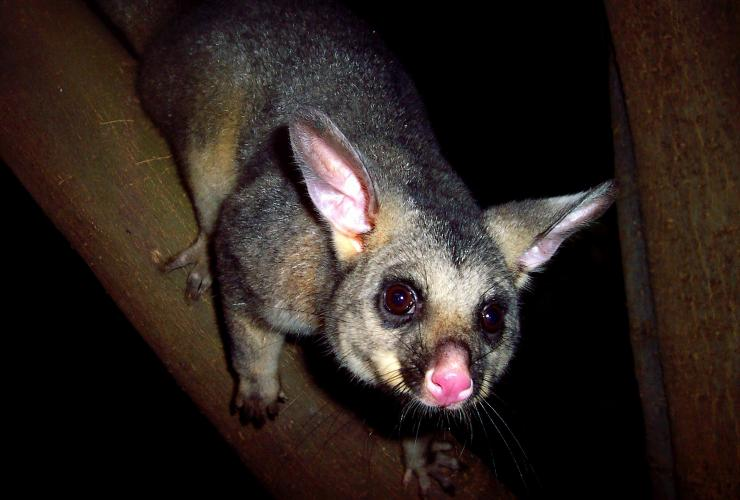 A brush-tailed possum spotted at night on a Boutique Wildlife Tour in the Southern Highlands © Boutique Wildlife Tours
