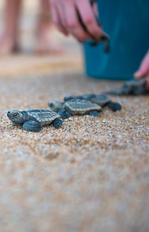 Baby turtles released onto the beach at Mon Repos Conservation Park in Queensland © Lauren Bath