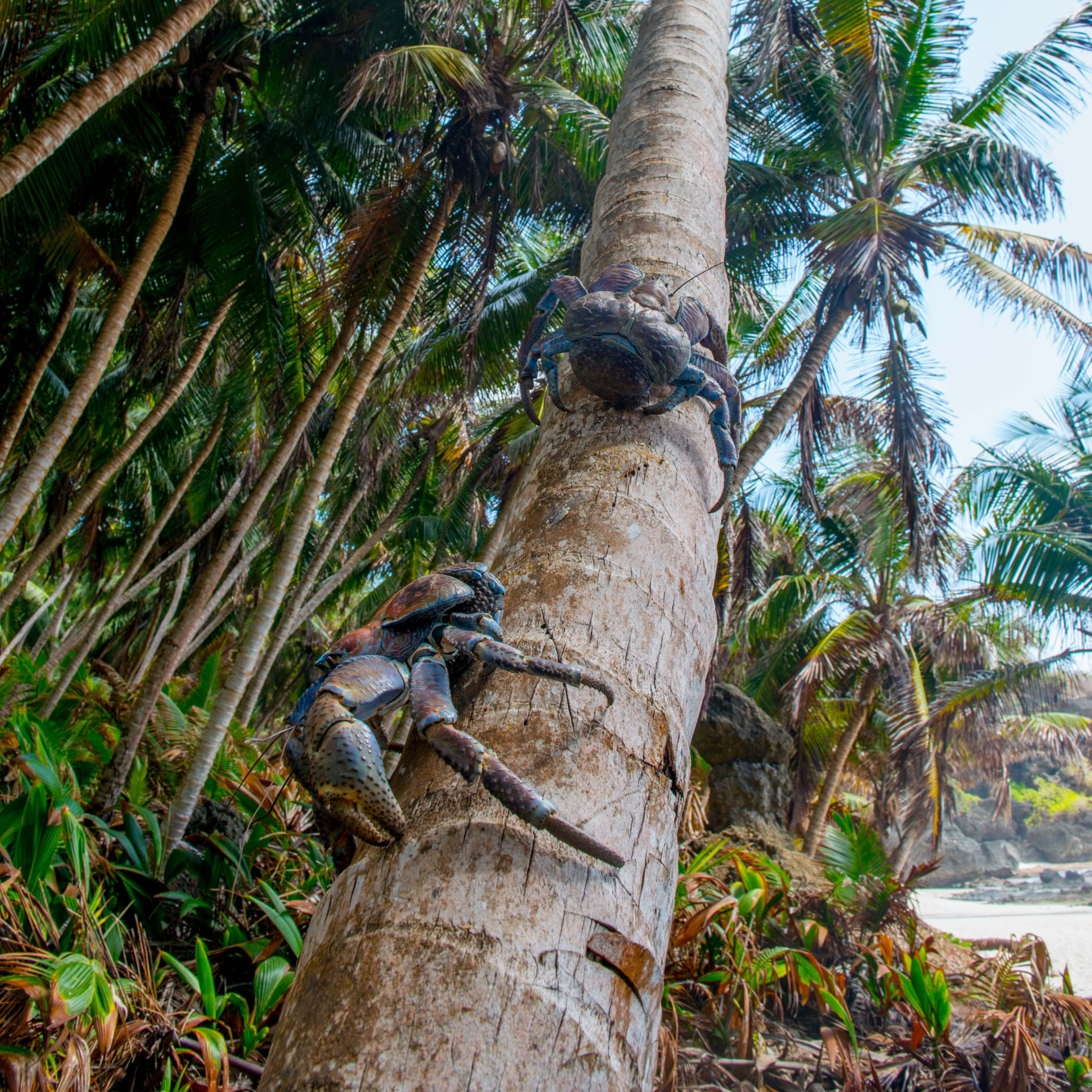 Robber crabs on a palm tree on Christmas Island © Christmas Island Tourism Association