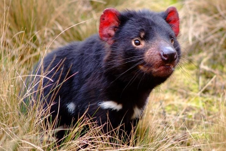 Tasmanian devil in the grass at Cradle Mountain National Park in Tasmania © Tourism Tasmania
