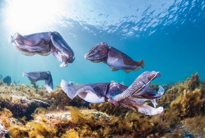 Swim with cuttlefish, Stony Point, SA © Carl Charter, South Australia Tourism Commission