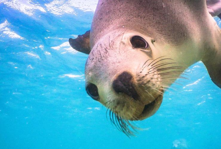 Sea lion, Baird Bay, SA © David Edgar