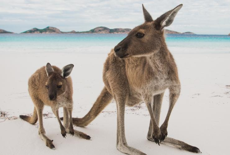 Kangaroos with a person on Lucky Bay beach © Australia's Golden Outback