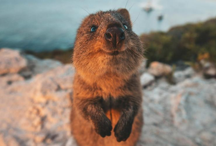 Quokka on Rottnest Island © James Vodicka