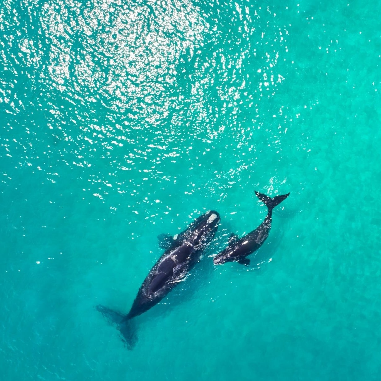 Whales in Yallingup, Western Australia © Australia's South West