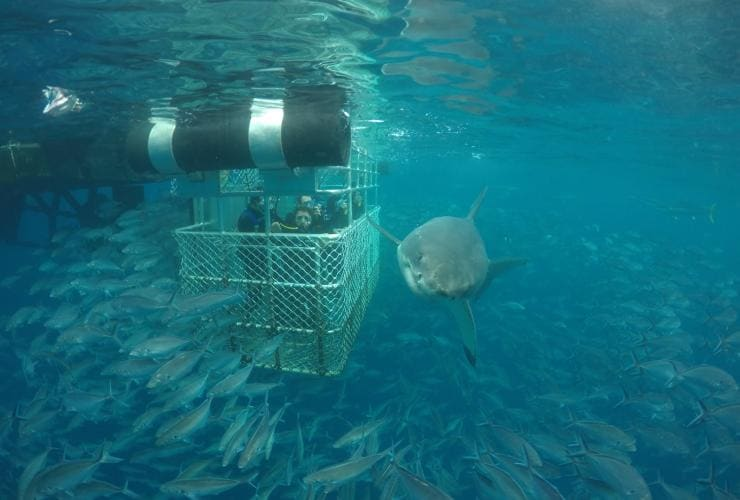 Shark cage diving, Neptune Island Marine Park, Eyre Peninsula, SA © Calypso Star Charters
