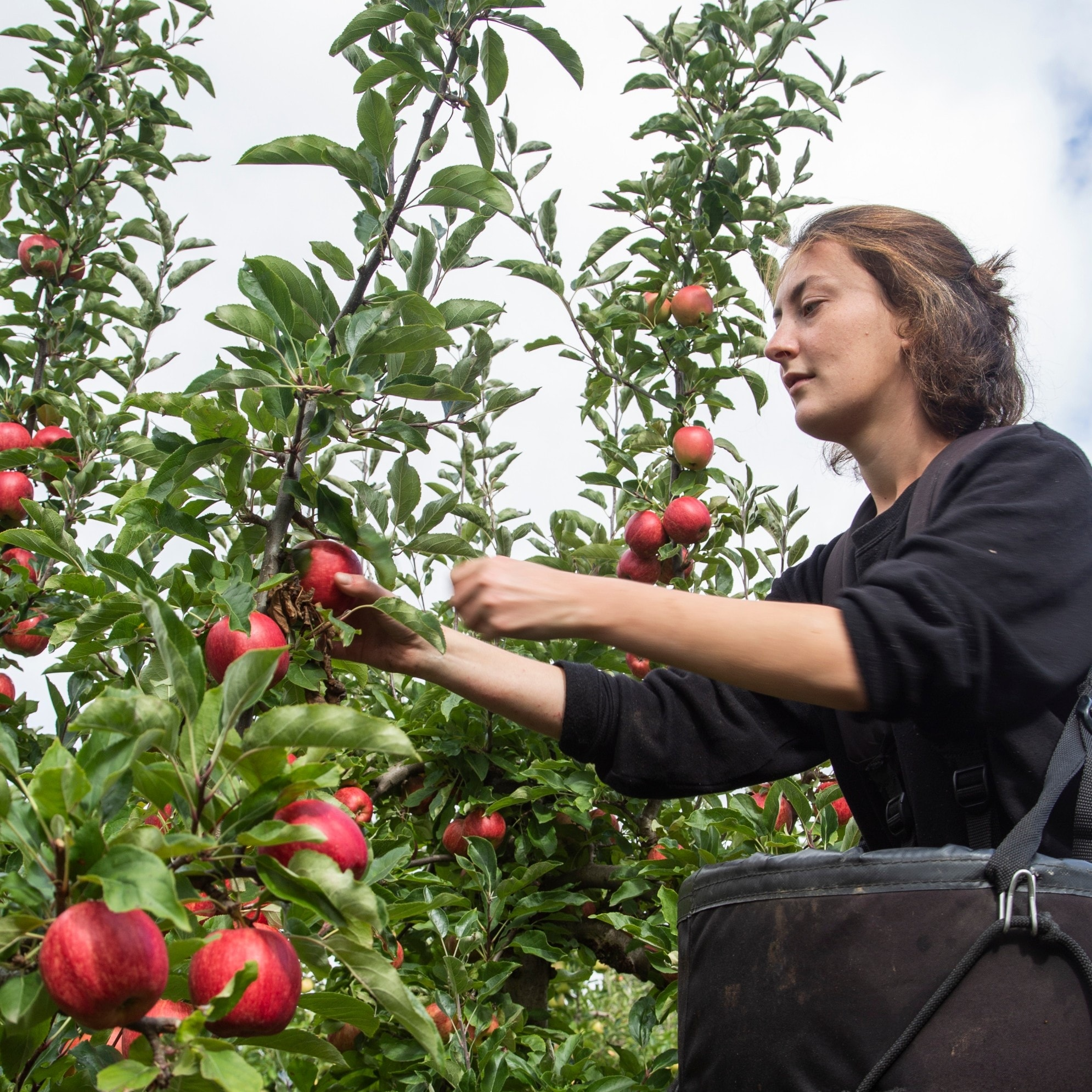 Apple picking, Huon Valley, TAS © Chris Phelps