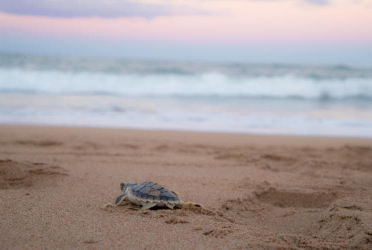 Loggerhead hatchling at Wreck Rock, Bundaberg, QLD © Tourism and Events Queensland