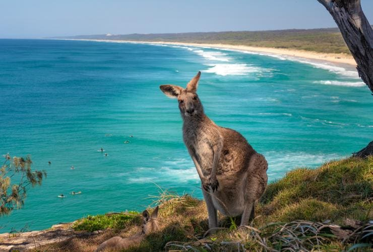 Kangaroo sitting near North Gorge Walk on North Stradbroke Island, Queensland © Tourism Australia