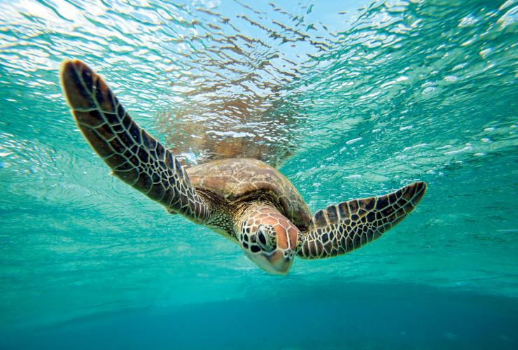 Green sea turtle, Lady Elliot Island, Great Barrier Reef, QLD © Tourism & Events Queensland