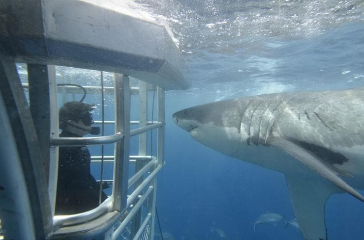 Shark diving, Neptune Islands, SA  © Adventure Bay Charters