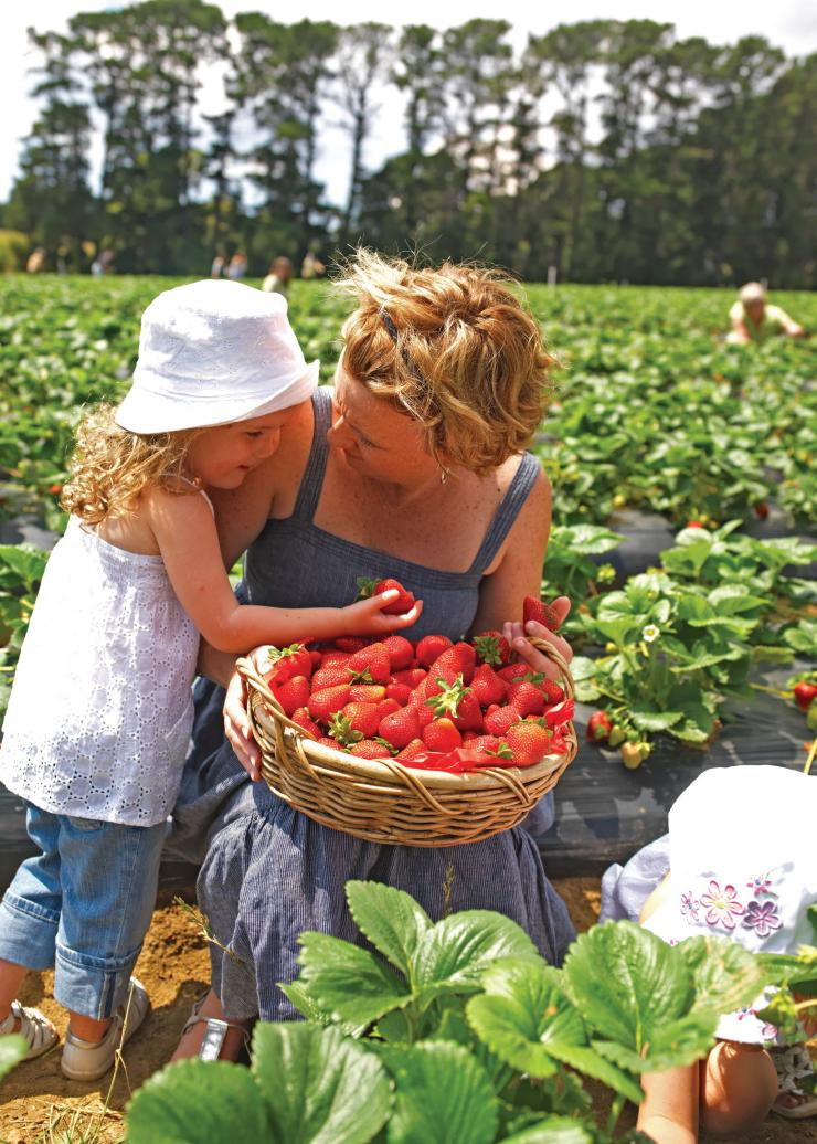 Fruit picking at the Sunny Ridge Strawberry Farm © Visit Victoria