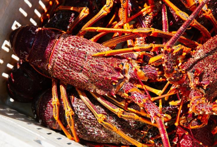 Freshly-caught lobsters in a basket © Josh Geelen