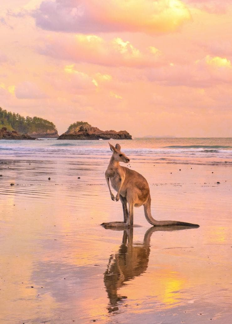 Kangaroo on the beach at Cape Hillsborough, QLD © Tourism and Events Queensland