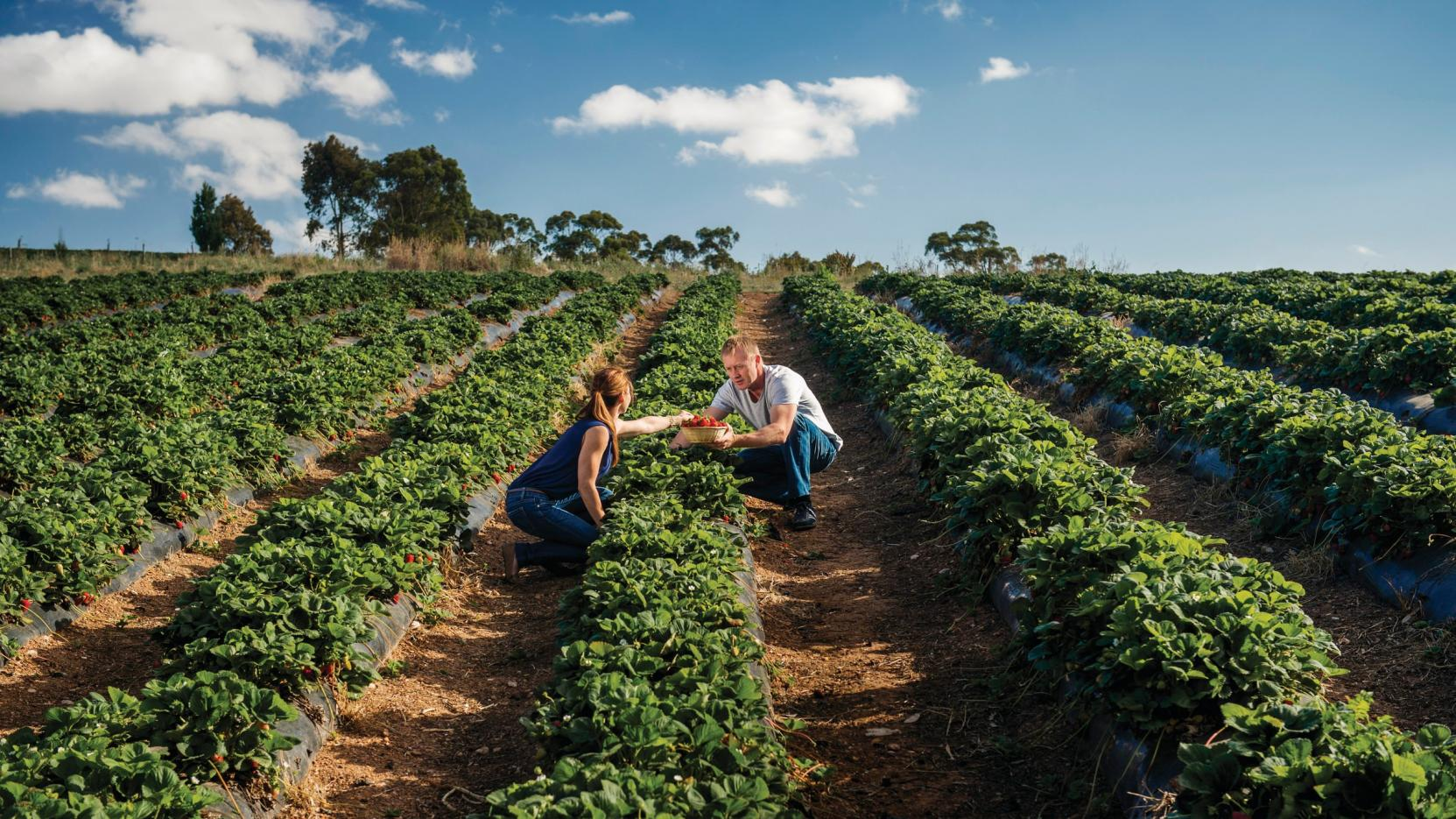 Pick Your Own, Beerenberg Strawberry Farm, Hahndorf, SA © South Australian Tourism Commission