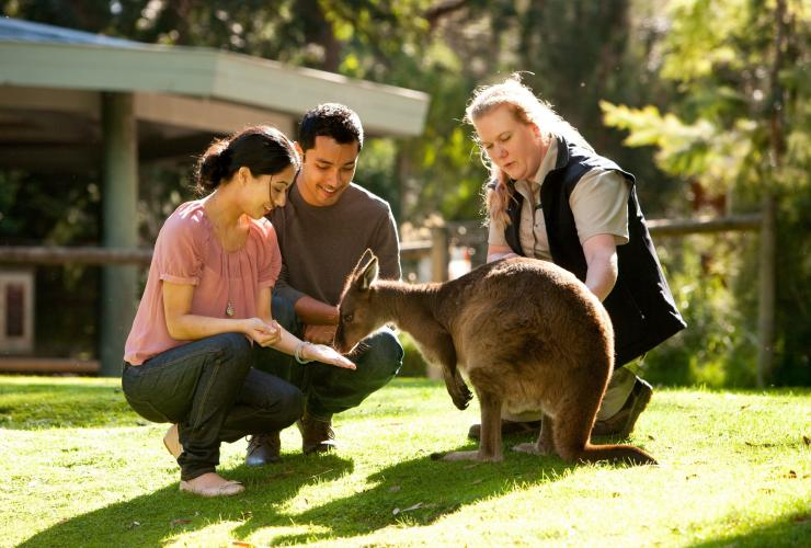 Couple feeding a kangaroo at Healesville Sanctuary in the Yarra Valley © Robert Blackburn