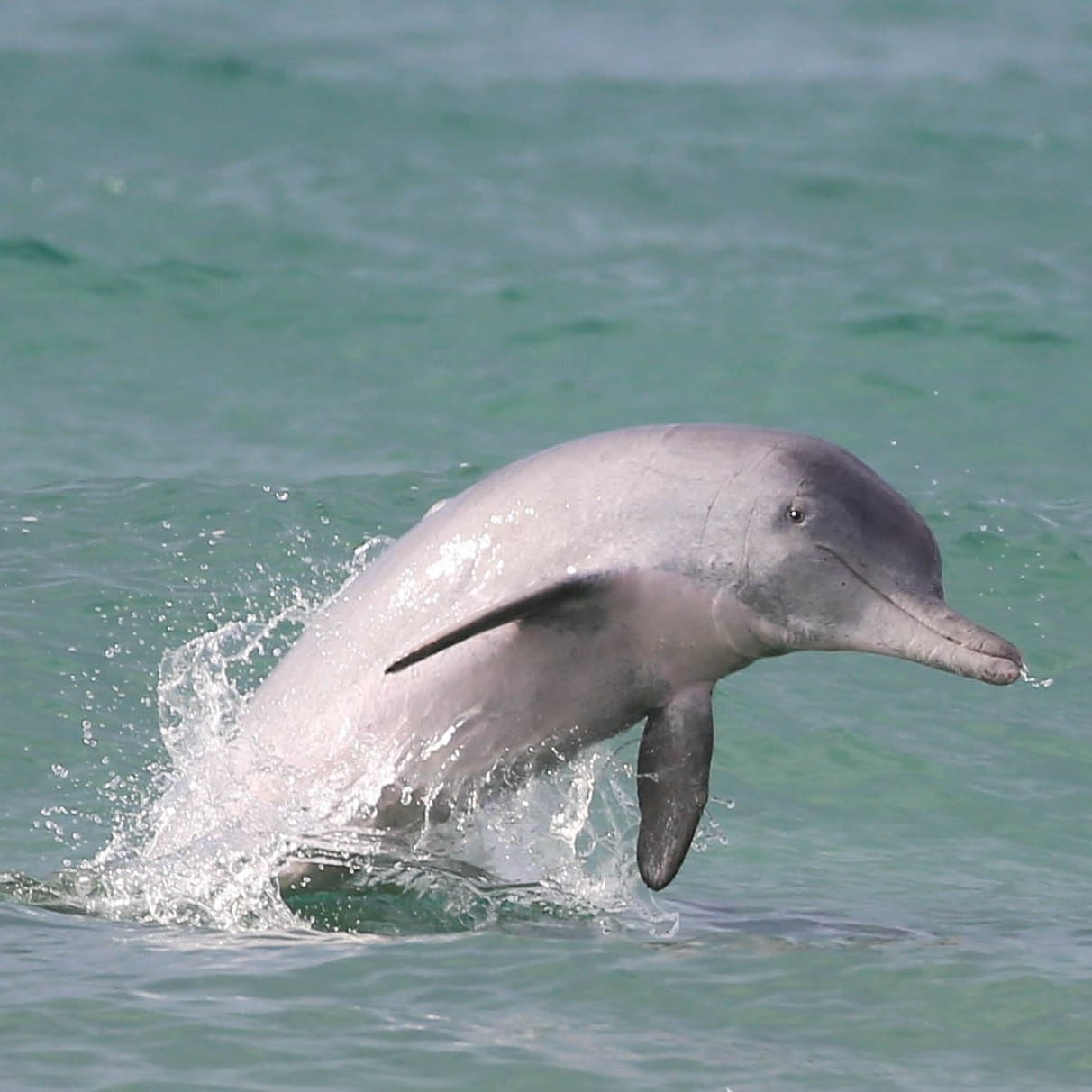 A neonate bottlenose dolphin near Moreton Bay Queensland © Dolphin Research Australia