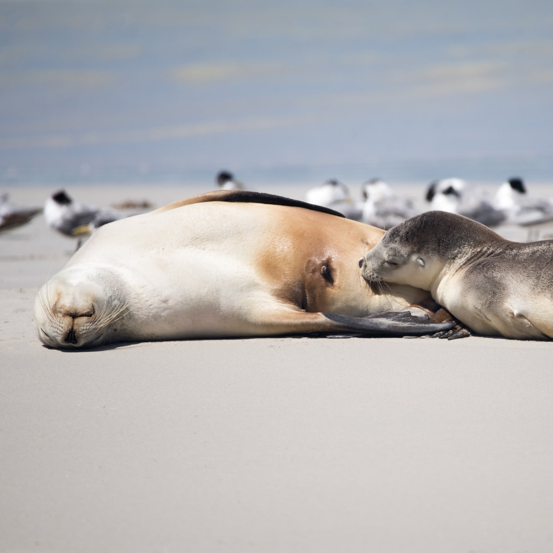 Australian Sealions at Seal Bay Conservation Park © Exceptional Kangaroo Island