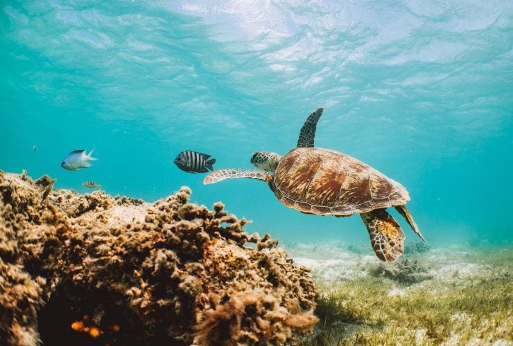 Turtle swimming underwater at the Great Barrier Reef © Tourism Australia