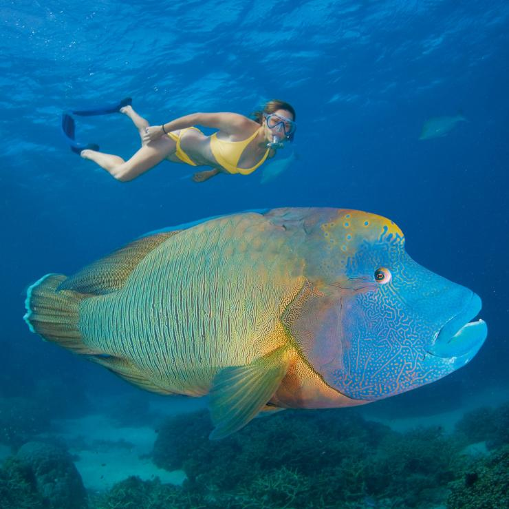 Maori Wrasse, Great Barrier Reef, QLD © Tourism Queensland