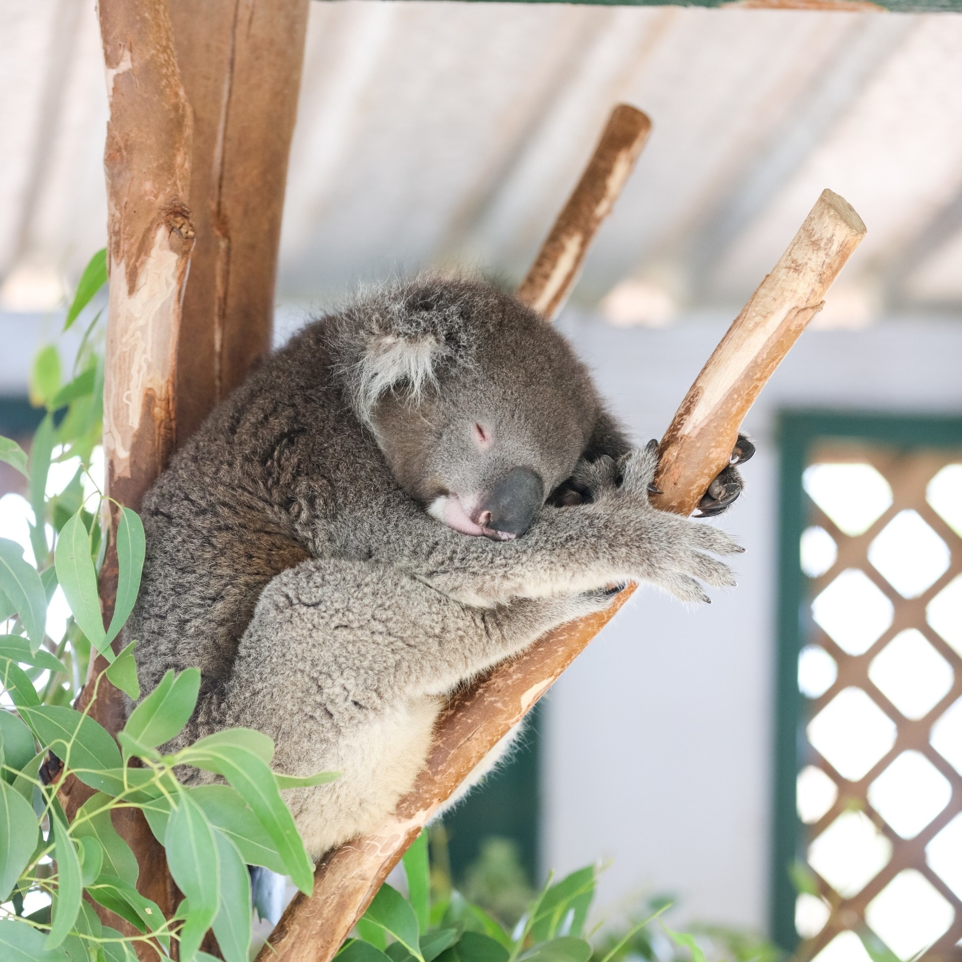 Koala at Featherdale Wildlife Park, Doonside, NSW © Destination NSW