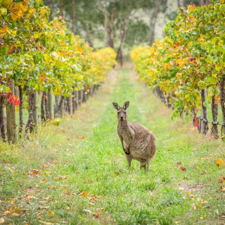 Kangaroo in between the vineyard rows in the Barossa Valley © South Australian Tourism Commission