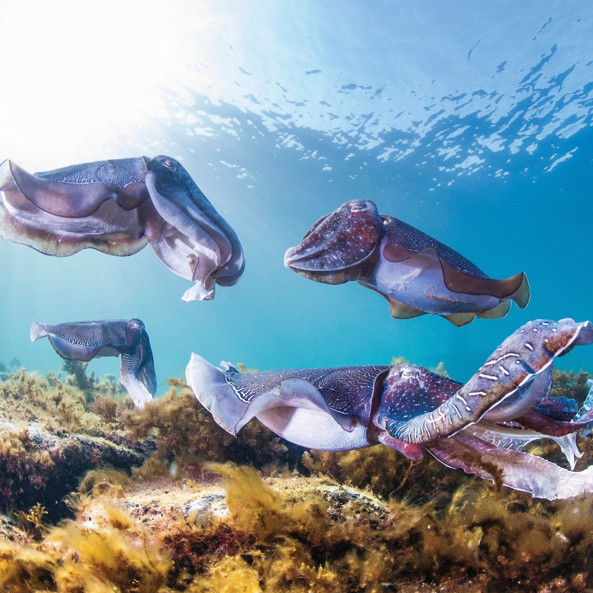 Cuttlefish, Stony Point © Carl Charter