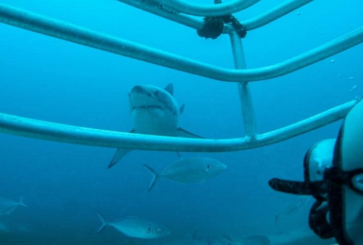 Diving, Rodney Fox Great White Shark Expeditions © Tourism Australia