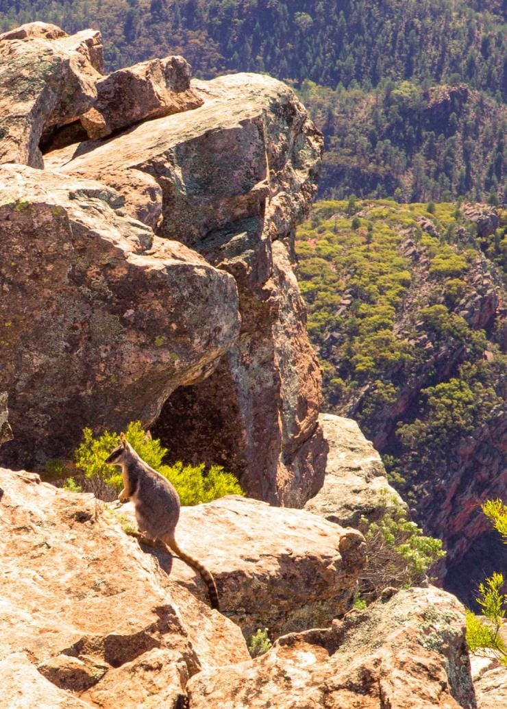 Yellow Footed Rock Wallaby, St Mary Peak, SA © Andy Steven