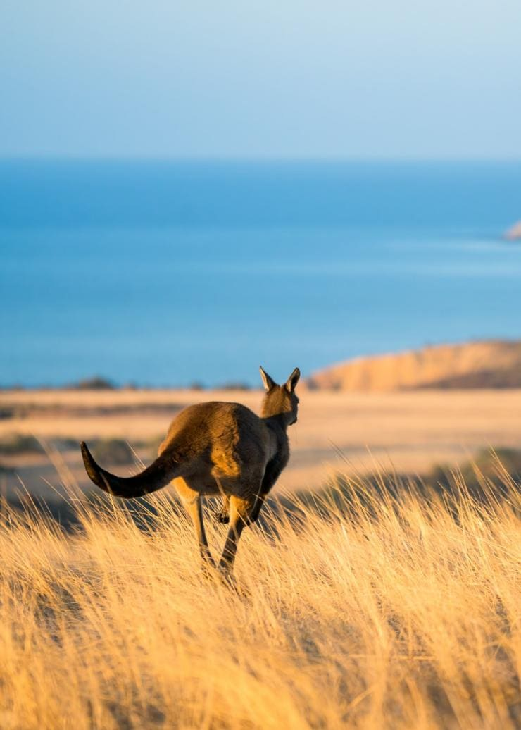 Kangaroo hops through grass next to ocean on Kangaroo Island © Ben Goode