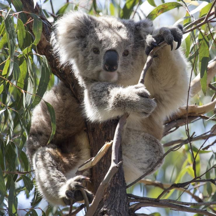 Koala sitting in a tree, Croajingolong National Park, Victoria © Echidna Walkabout