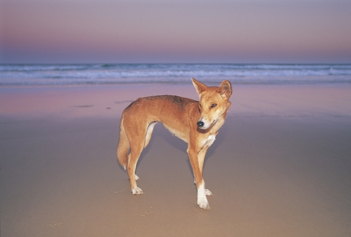 Dingo on beach, Fraser Island, QLD © Tourism and Events Queensland